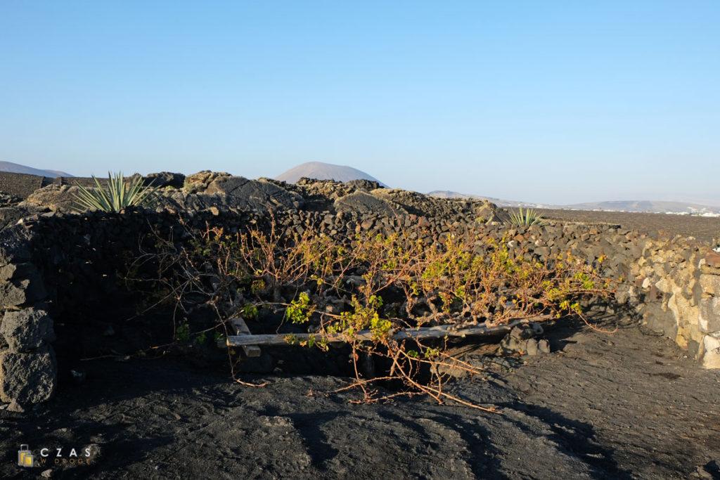 Winorośl otoczona murkiem