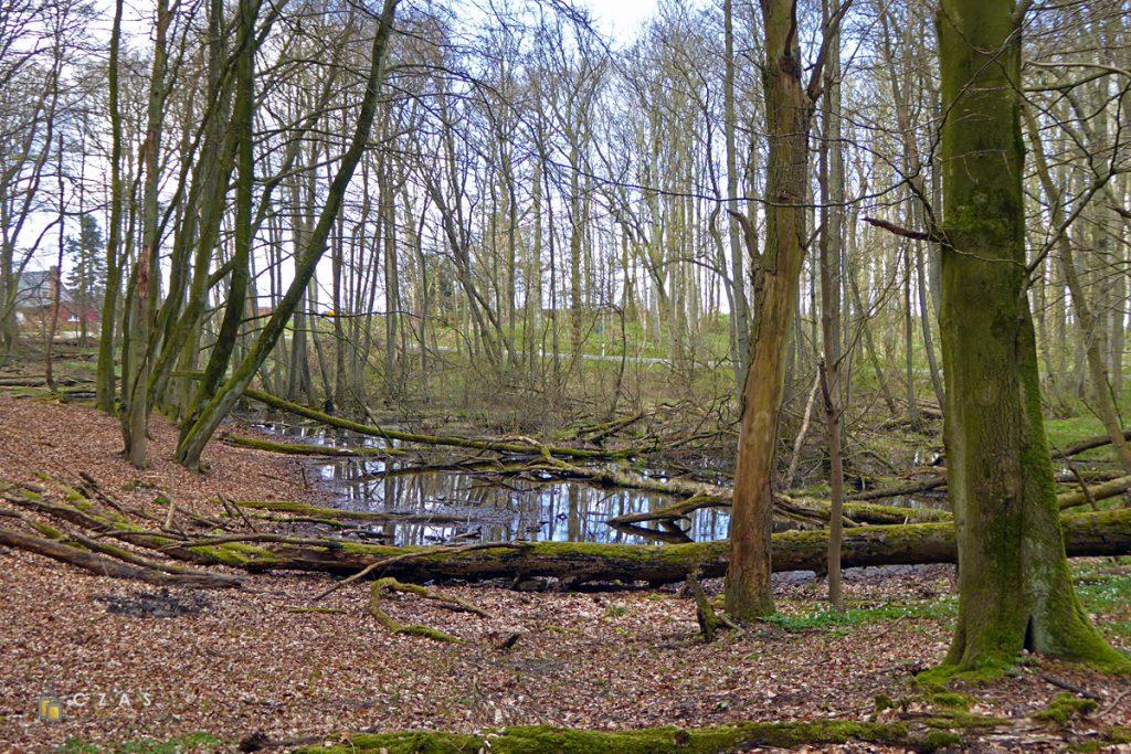 Las bukowy w Parku Narodowym Jasmund