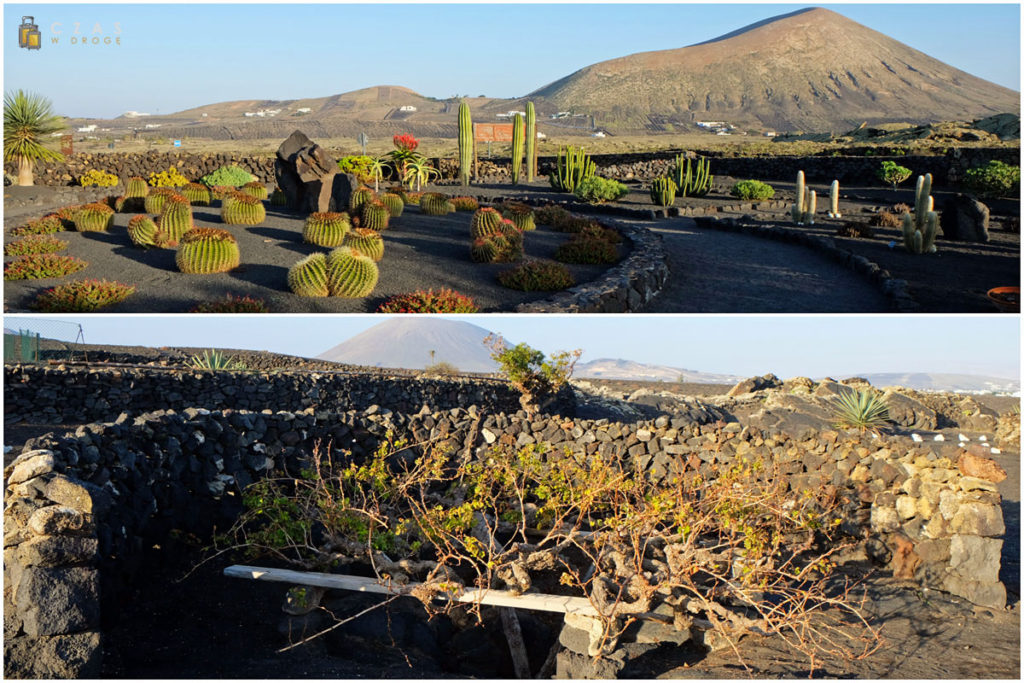 """Winnica """"El Grifo"""" - ogródek kaktusowy / winorośl w charakterystycznym zagłębieniu"""